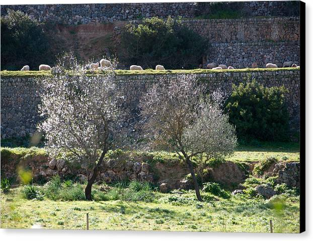 Sheep Canvas Print featuring the photograph Grazing Sheep In Terrace Landscape. by Ingela Christina Rahm