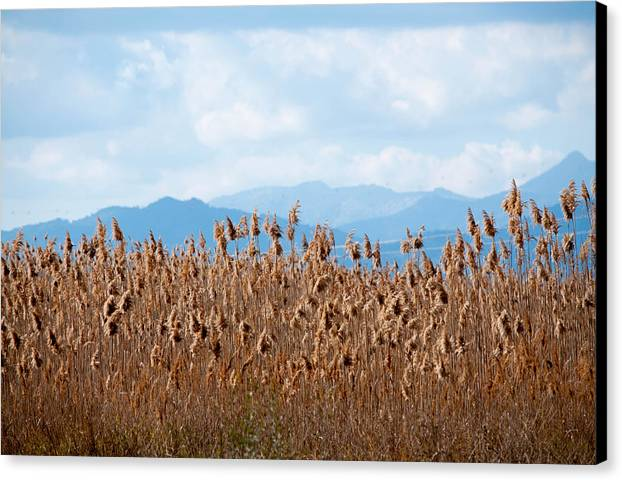 Blue Canvas Print featuring the photograph Yellow Reeds And Blue Mountains by Ingela Christina Rahm