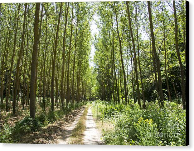 Forest Canvas Print featuring the photograph Path And Trees by Stefano Piccini