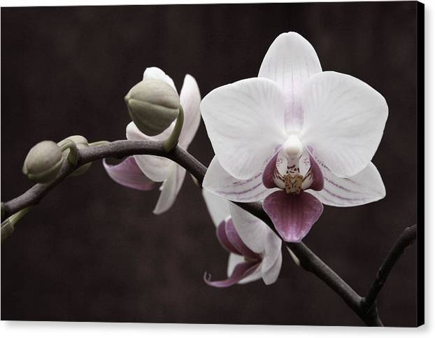 Orchid Canvas Print featuring the photograph Orchid by Sally Engdahl