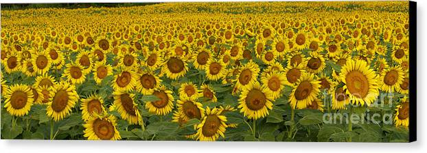 Flower Canvas Print featuring the photograph Field Of Domestic Sunflowers by Kenneth M Highfill and Photo Researchers