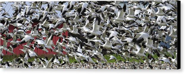 Wildlife Canvas Print featuring the photograph Follow The Leader Pg013 by Yoshiki Nakamura