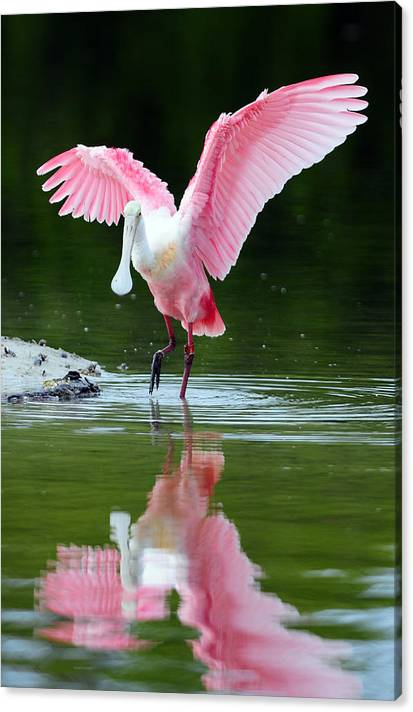 Roseate Spoonbill by Clint Buhler