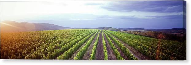 Scenics Canvas Print featuring the photograph Vineyard Panorama Sunrise by Malhrovitz