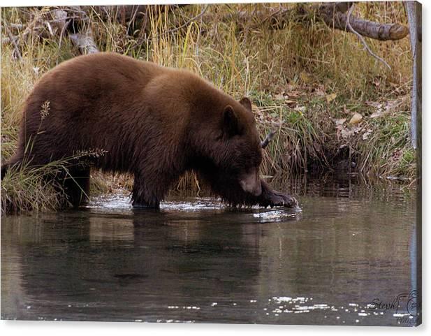 Splashing Bear by Steph Gabler