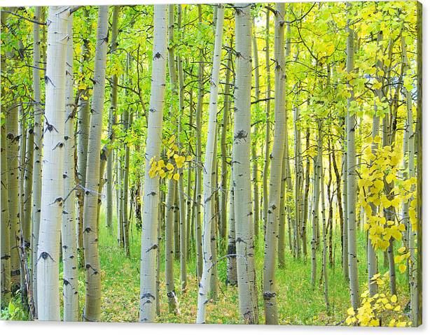 Limited Time Promotion: Aspen Tree Forest Autumn Time  Stretched Canvas Print by James BO Insogna