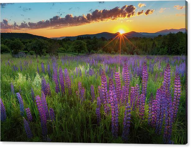 Limited Time Promotion: Lupine Lumination Stretched Canvas Print