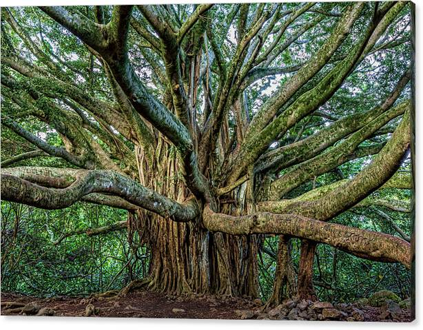 Limited Time Promotion: Pipiwai Banyan Stretched Canvas Print