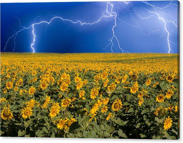Limited Time Promotion: Sunflower Lightning Field  Stretched Canvas Print