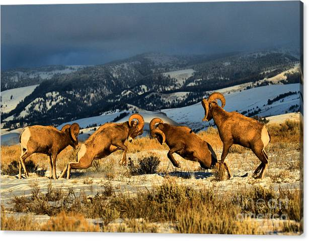 Limited Time Promotion: Wyoming Bighorn Brawl Stretched Canvas Print
