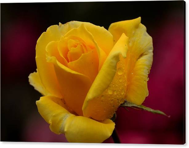 Limited Time Promotion: Yellow Rose With Spring Raindrops Stretched Canvas Print by Richard Thomas