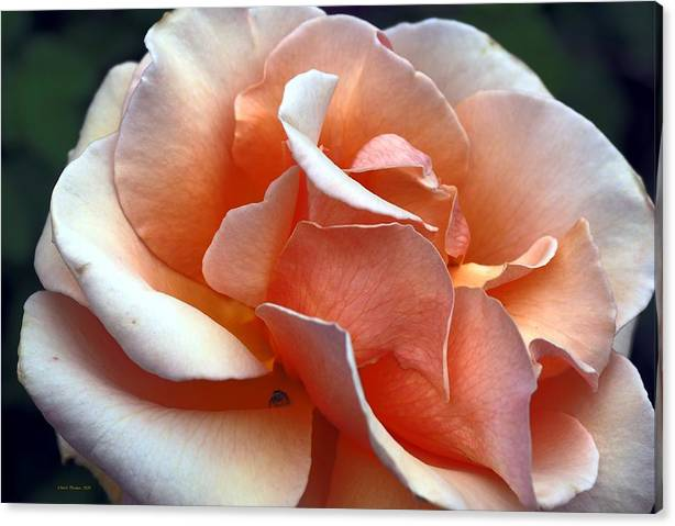 Limited Time Promotion: Gold Spider Rose Stretched Canvas Print by Richard Thomas