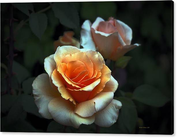 Limited Time Promotion: Rose Close Stretched Canvas Print by Richard Thomas