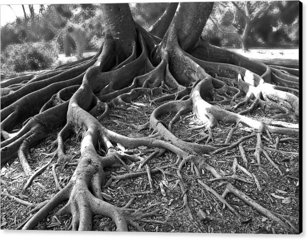 Tree Canvas Print featuring the photograph Banyan Roots - 24 X 36 by Sixth Day Photography