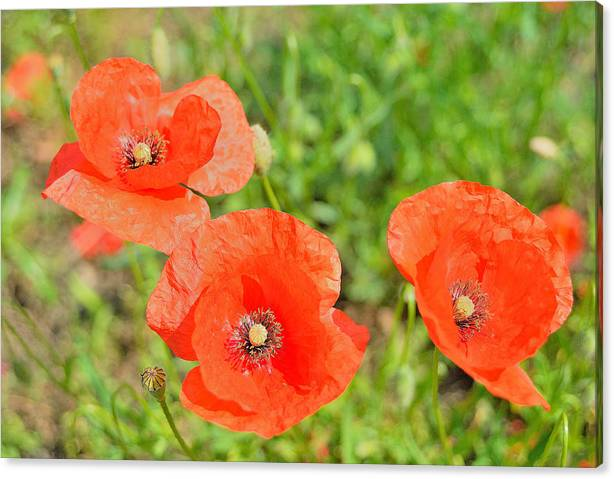 Trio Of Poppies Canvas Print featuring the photograph Trio of poppies by Patrick Pestre