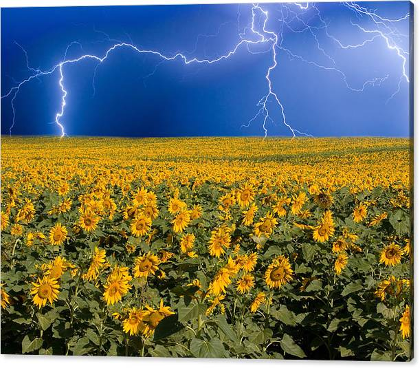 Limited Time Promotion: Sunflower Lightning Field  Stretched Canvas Print by James BO Insogna