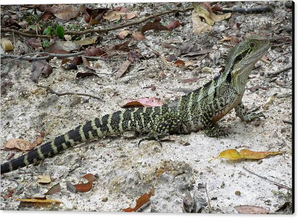 Lizard Canvas Print featuring the photograph Lizard by Joyce Woodhouse