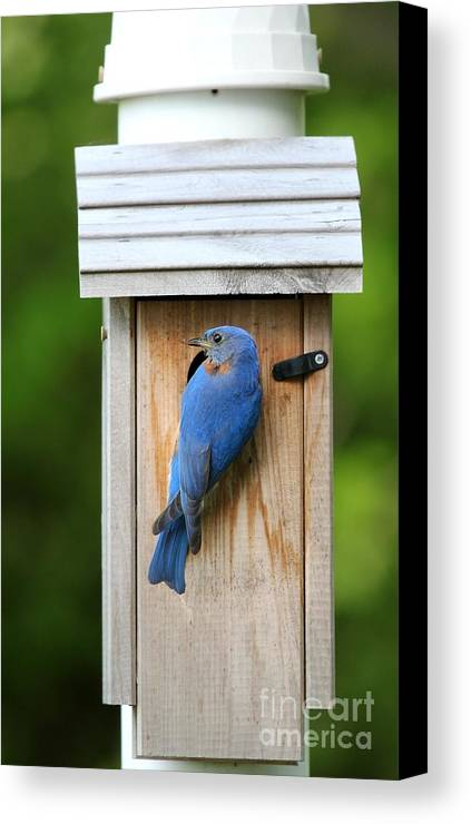Nature Canvas Print featuring the photograph Eastern Bluebird by Jack R Brock