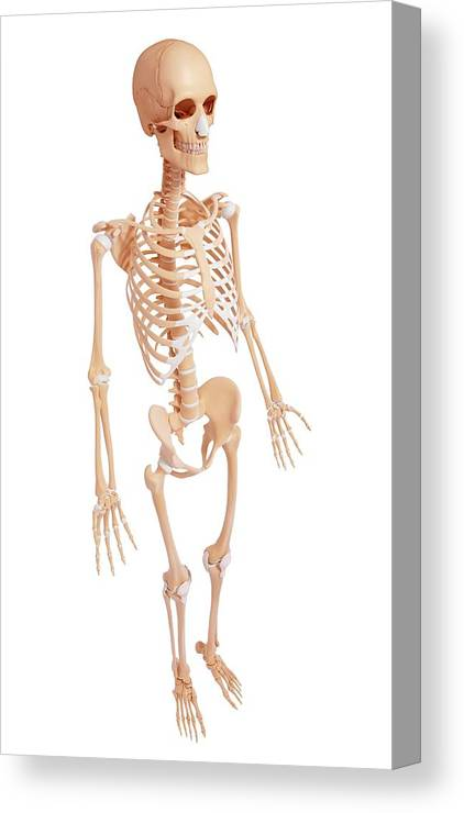 Artwork Canvas Print featuring the photograph Human Skeleton by Pixologicstudio/science Photo Library