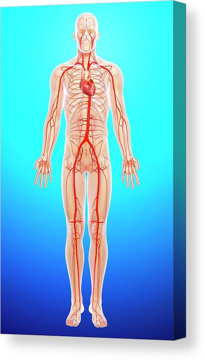 Artwork Canvas Print featuring the photograph Human Arteries by Pixologicstudio/science Photo Library