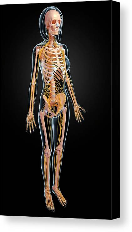 Artwork Canvas Print featuring the photograph Female Anatomy by Pixologicstudio/science Photo Library