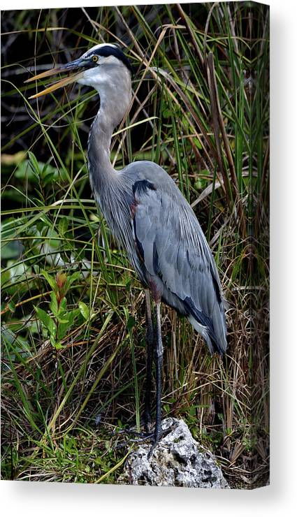 Bird Canvas Print featuring the photograph Hidden In The Reeds by Richard Ortolano