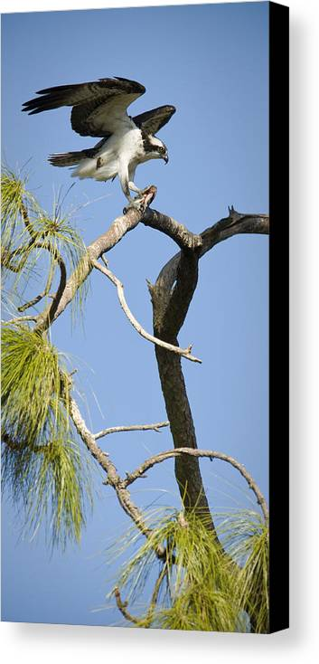 Osprey Canvas Print featuring the photograph Wings Of The Raptor by Chad Davis