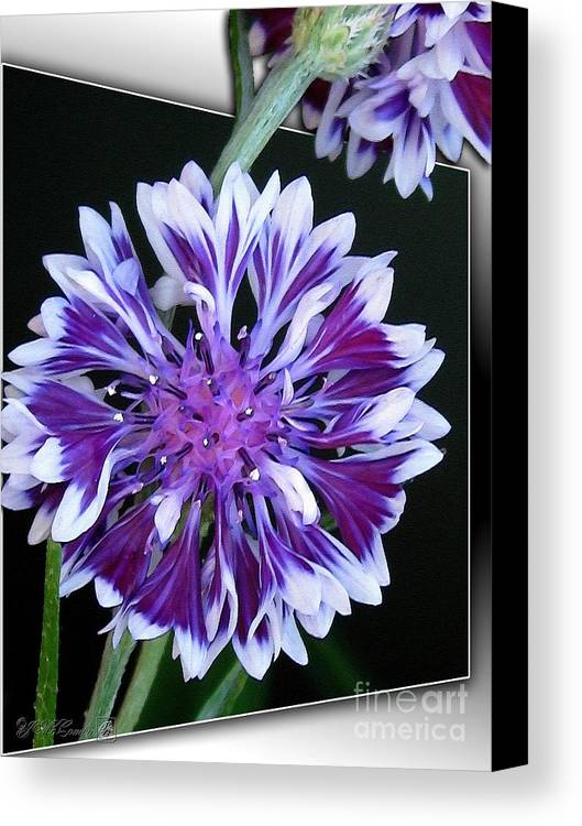 Bachelor Button Canvas Print featuring the painting Bachelor Button From The Frosted Queen Mix by J McCombie