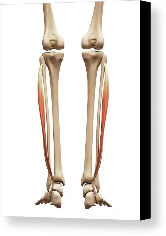 Artwork Canvas Print featuring the photograph Leg Muscles by Sebastian Kaulitzki