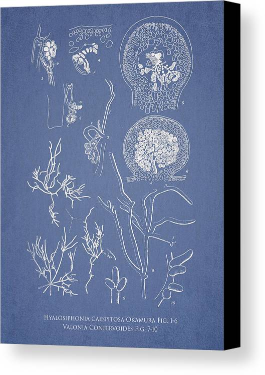 Algae Canvas Print featuring the drawing Hyalosiphonia Caespitosa Okamura Valonia Confervoides by Aged Pixel