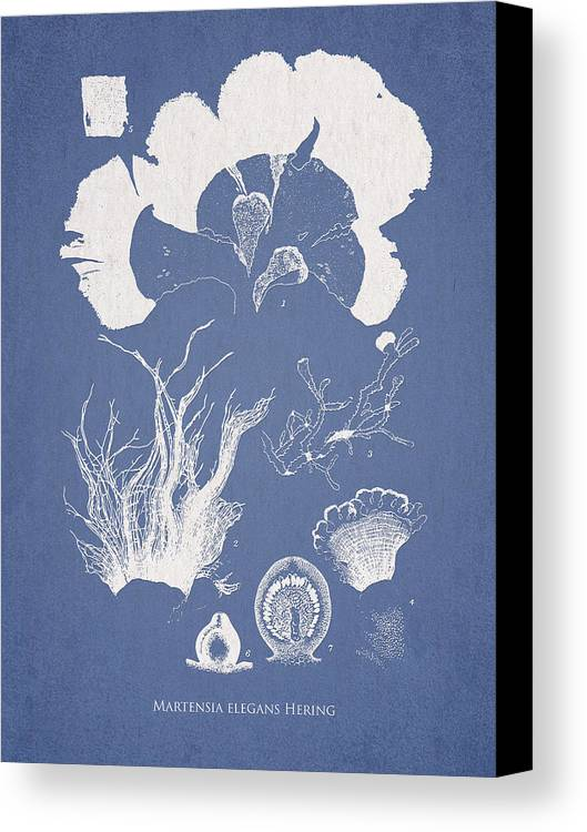 Algae Canvas Print featuring the drawing Martensia Elegans Hering by Aged Pixel