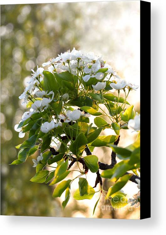 Pear Tree Canvas Print featuring the photograph May Pear Blossoms by Angie Rea