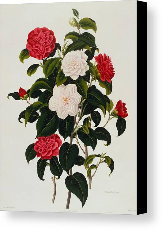 Flower Canvas Print featuring the painting Myrtle Leaved Camellia by Clara Maria Pope