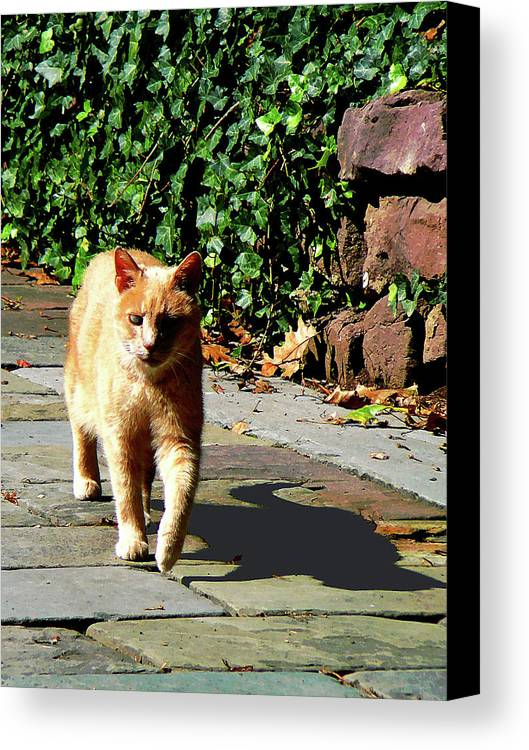 Cat Canvas Print featuring the photograph Orange Tabby Taking A Walk by Susan Savad