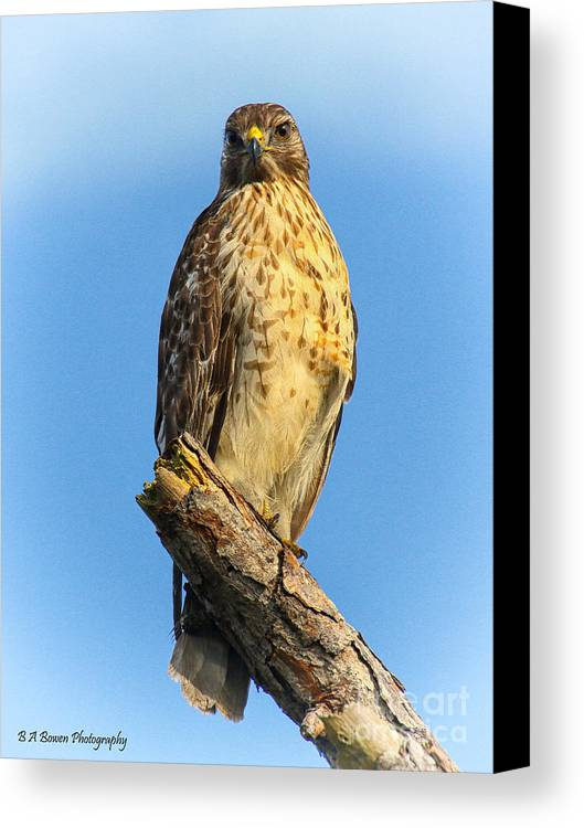 Red-shouldered Hawk Canvas Print featuring the photograph Stately Red-shouldered Hawk by Barbara Bowen