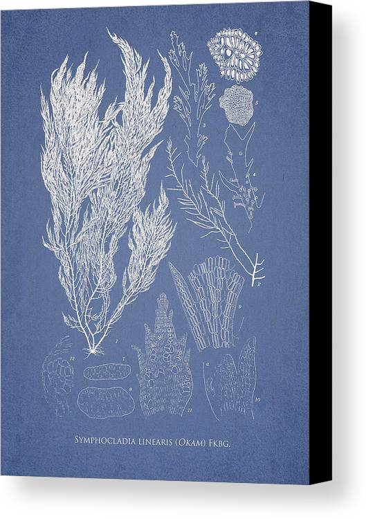Algae Canvas Print featuring the drawing Symphocladia Linearis by Aged Pixel