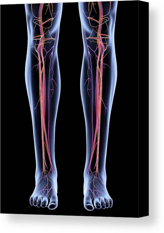 Vascular System Of The Legs Canvas Print / Canvas Art by Alfred Pasieka