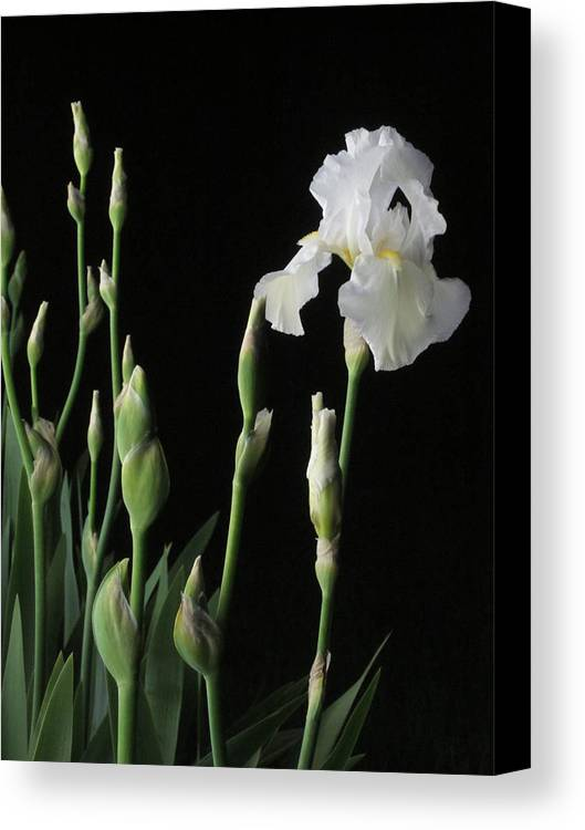 Guy Ricketts Photography Canvas Print featuring the photograph White Iris In Black Of Night by Guy Ricketts