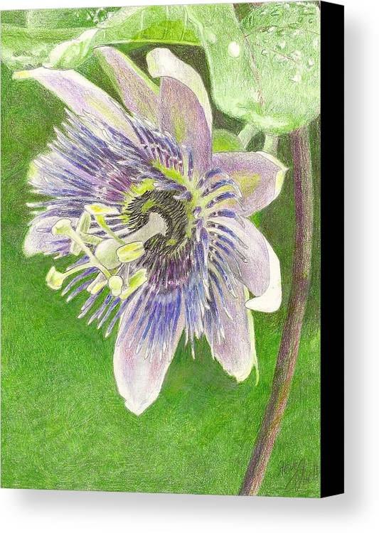 Passiflora Canvas Print featuring the drawing Passiflora Alatocaerulea by Steve Asbell