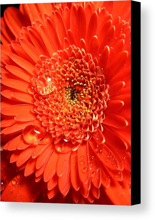 Gerbera Photographs Canvas Print featuring the photograph 3302-001 by Kimberlie Gerner
