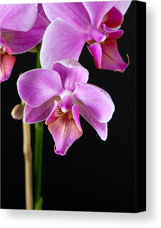 Flower Canvas Print featuring the photograph A Brilliant Orchid by Charlie Osborn