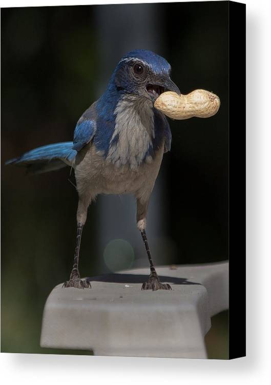 Bird Canvas Print featuring the photograph Peanuts by Kittysolo Photography