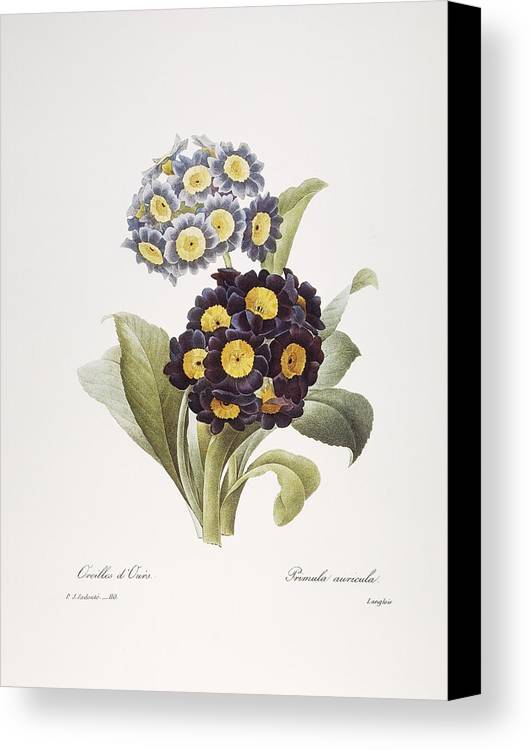 1833 Canvas Print featuring the photograph Redoute: Auricula, 1833 by Granger