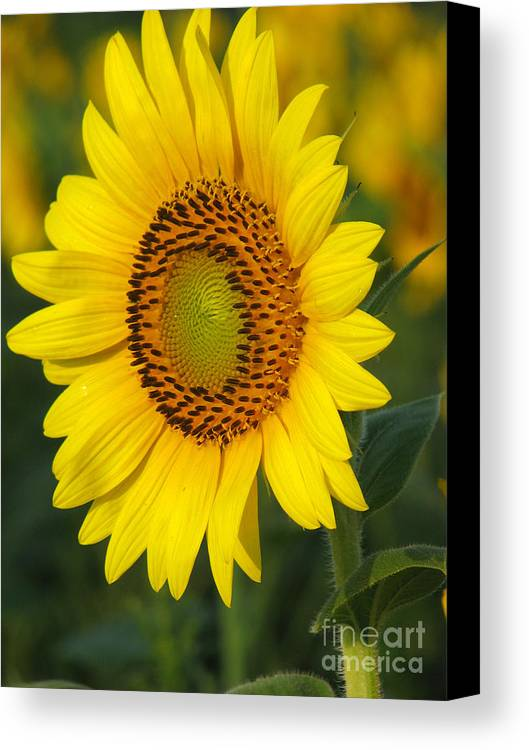 Sunflowers Canvas Print featuring the photograph Sunflower by Amanda Barcon