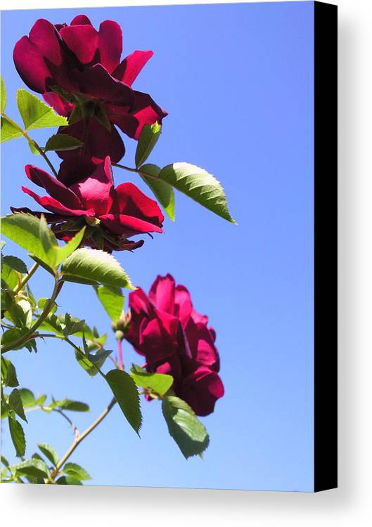All About Roses And Blue Skies Vii Photograph Photography Canvas Print featuring the photograph All About Roses And Blue Skies Vii by Daniel Henning