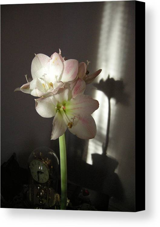 Flora Canvas Print featuring the photograph Amaryllis by Pauline Margarone
