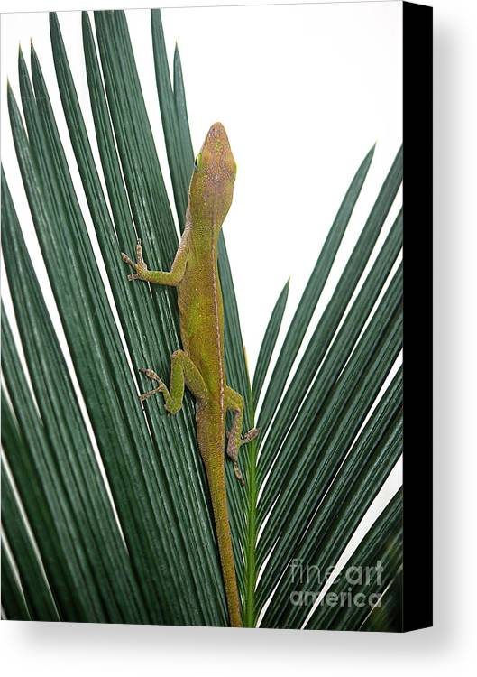 Nature Canvas Print featuring the photograph Anole With Palm - Curious by Lucyna A M Green