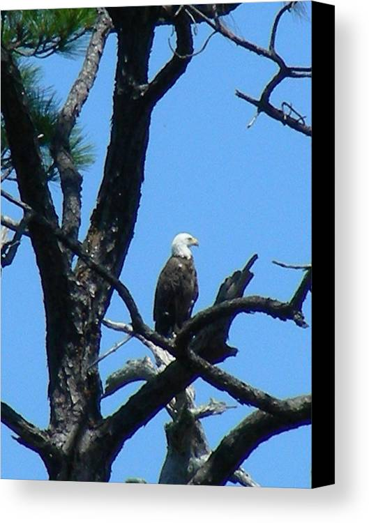 Bald Ealge Canvas Print featuring the photograph Bald Eagle II by Peter McIntosh