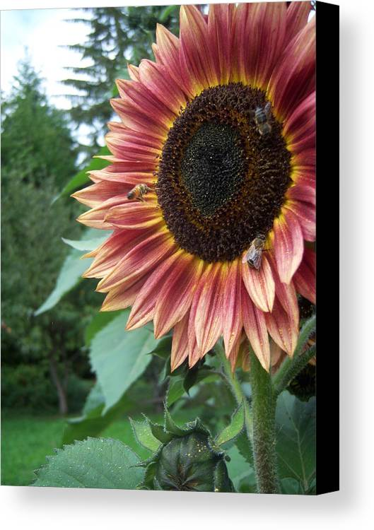 Bees Canvas Print featuring the photograph Bees On Sunflower 106 by Ken Day
