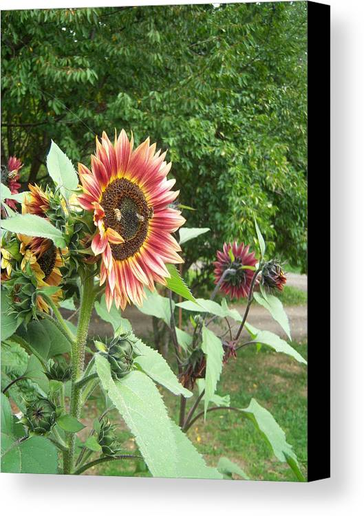 Bees Canvas Print featuring the photograph Bees On Sunflower 108 by Ken Day